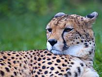 Gepard im Selwo Aventura Park. © abel262